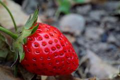 fête fraise